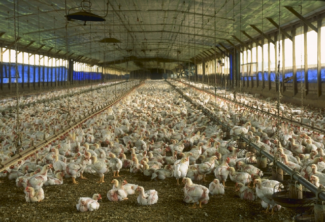 A factory farm for chickens in Florida. Photo: USDA