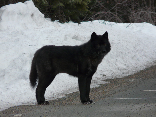 The Alexander Archipelago Wolf may get Endangered Species Act (ESA) Protection. ESA protection would mean the wolves are protected from things that are harmful to them. PHOTO: United States Forest Service