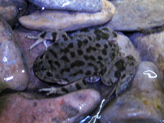 The Titicaca water frog (<em>Telmatobius coleus</em>) is a species that's in extreme danger of extinction. PHOTO: Joshua Stone/Wikimedia Commons