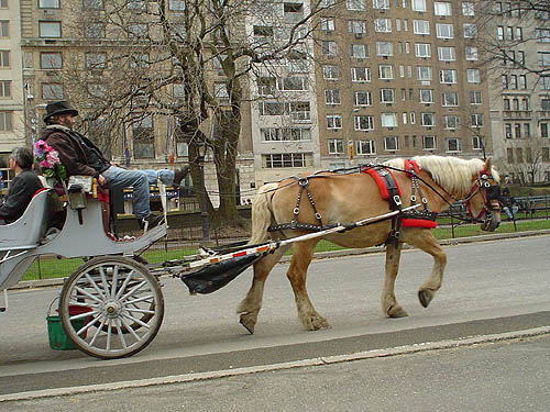 Animal rights activist argue that horse drawn carriages in Central Park, such as the one pictured here, are suffering under cruel conditions. PHOTO: Michael Femia/Flickr