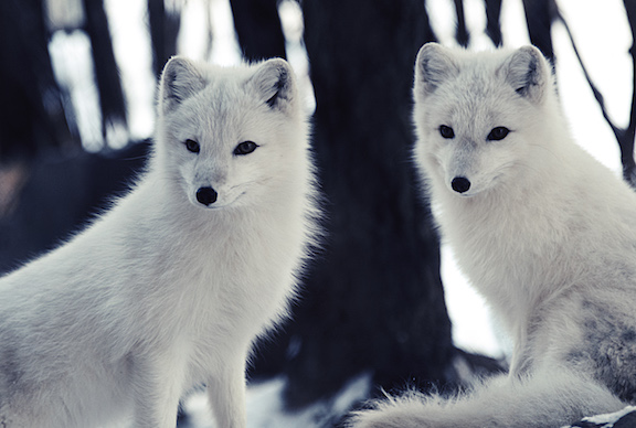 Getting Wild With Arctic Foxes