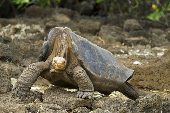 Lonesome George was the last Pinta Island Tortoise, and his species went extinct when he died in 2012. Scientists estimate between 10,000 and 100,000 species go extinct each year. Wikimedia Commons / Arturo de Frias Marques