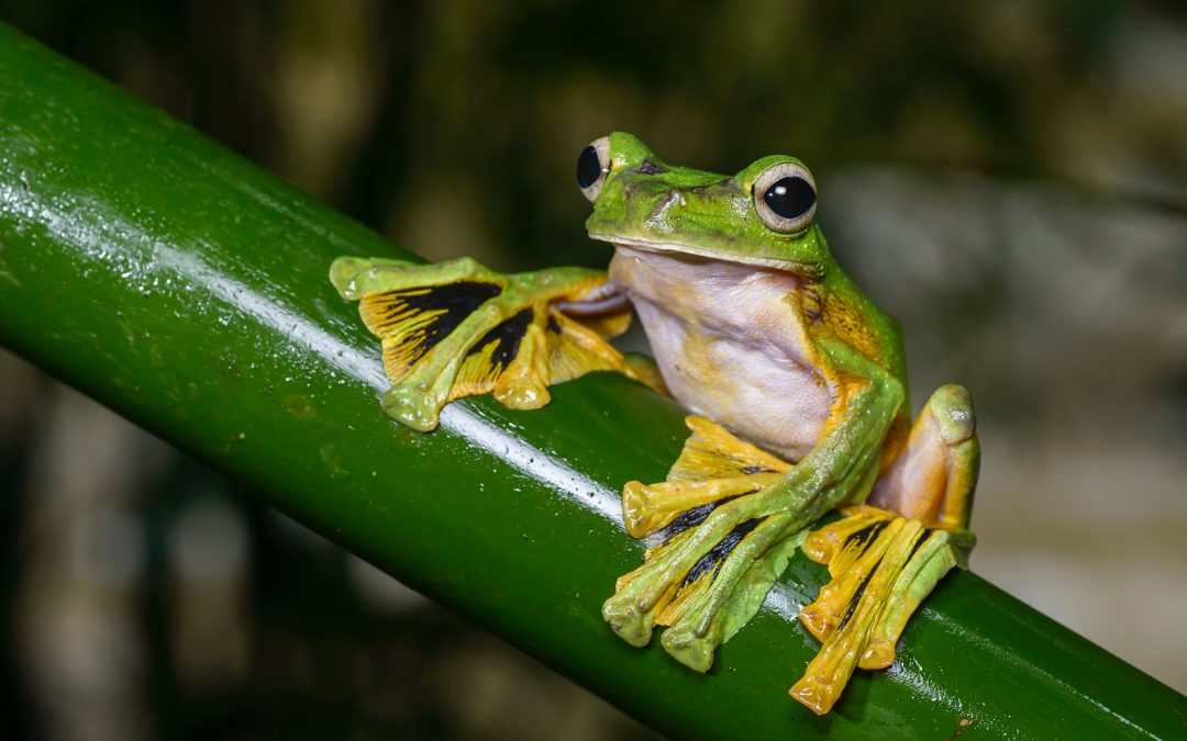 Getting Wild With… The Wallace's Flying Frog