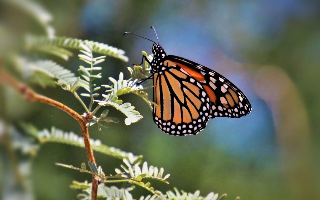 California Monarch Butterfly Population Down 86 Percent in 2018