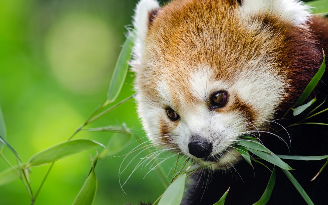 RED PANDAS: Super Cute But Under Threat of Extinction