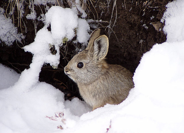 Endangered Rabbit Species Loses Large Portion of Its Habitat Due to West Coast Wildfires