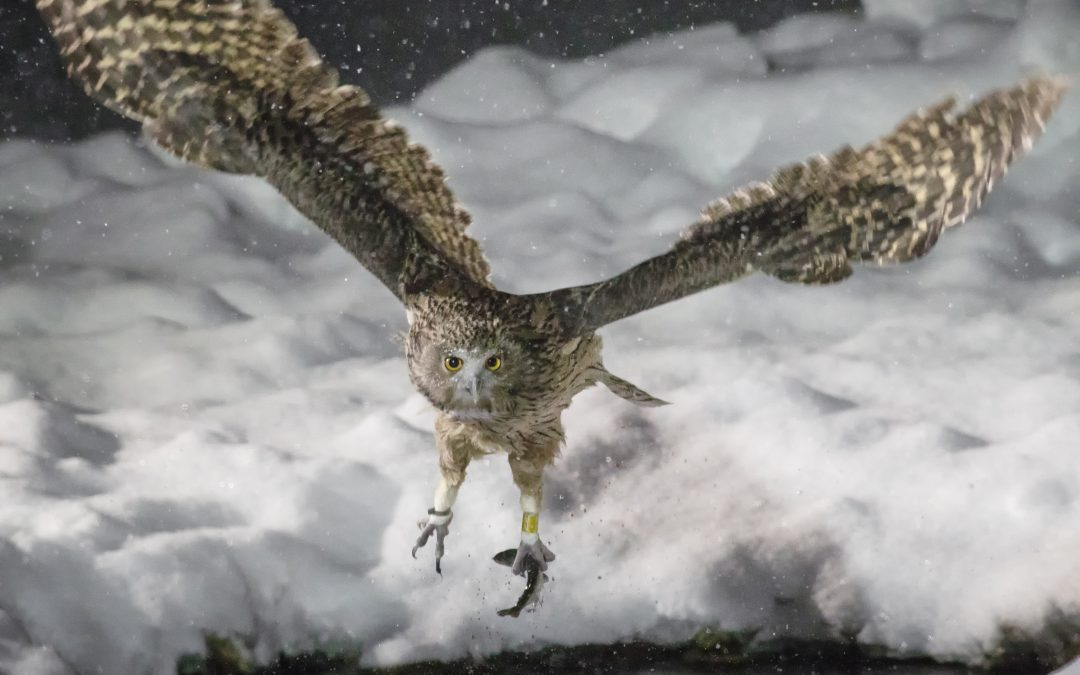Getting Wild With… The Endangered Blakiston's Fish Owl